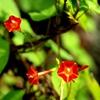 マルバルコウソウ (丸葉縷紅草)
