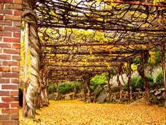 落葉つもる藤棚の道~尾道