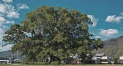 一樹、森なす三加茂の大楠