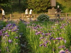 春日池公園の菖蒲 1
