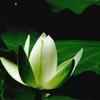 甲弩(こうの)神社の蓮 3