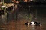 紅葉の池のカモ