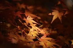 照らされる黄葉