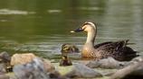 緑の池の雛