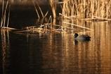 夕日に照らされる池で