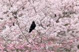 黒い花見客