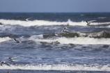 アジサシの飛ぶ海岸