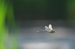 飛んでるトンボ 4