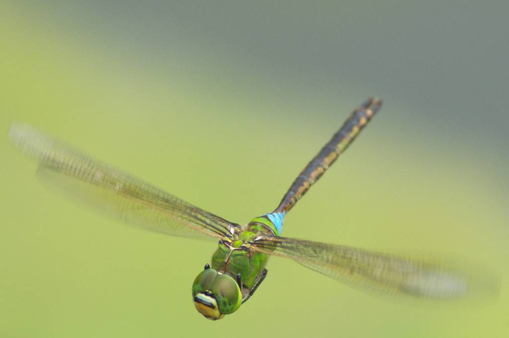 とんぼ 蜻蛉 餌 幼虫 期間 羽化