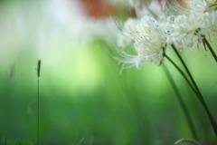 公園の白い彼岸花