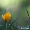 公園の黄色クロッカス 3