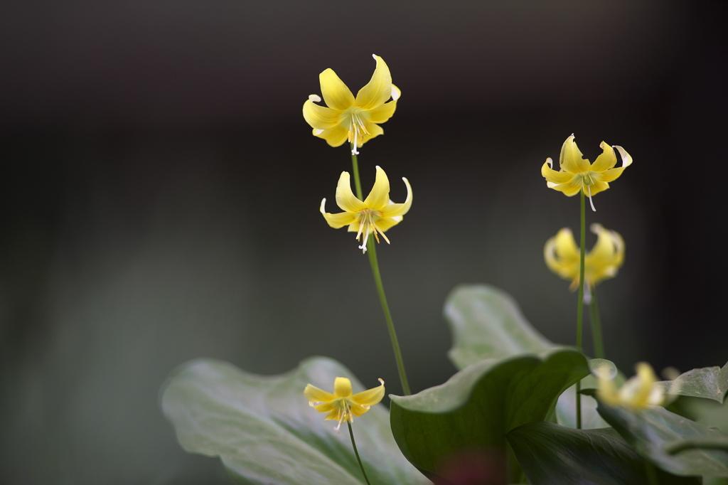 妖精の森の黄色カタクリ