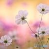 花の丘のコスモス 11
