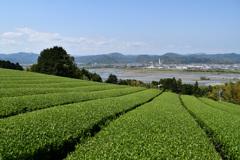 大井川と茶畑