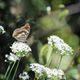 メスグロヒョウモンの翅裏 DSC_7678