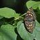 国蝶の美 DSC_5033