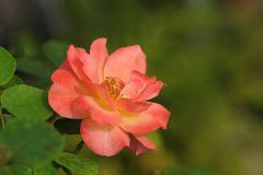 猛暑に咲く DSC_3451