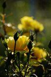 次々と開花  DSC_2318