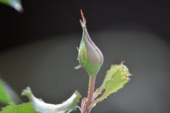 黄バラの蕾 DSC_2748