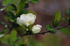 白い花 DSC_1858