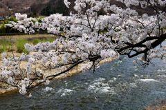 春の清流 DSC_4623