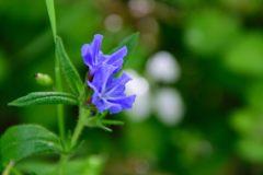 青い花 DSC_7392