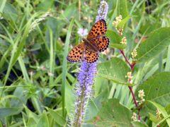 薄紫の花にコヒョウモン DSCN6047