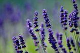 夏の香り  DSC_4111