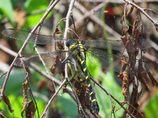 チョウを捕食するトンボ  IMG_1515