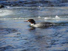 氷混じりの川で DSCN2537