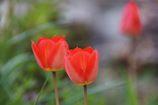 赤が咲いた  DSC_1671