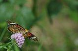 美しい翅開く   DSC_4775