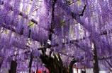 行興寺の藤