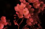 薄紅色の夜桜