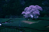 一本桜(横)