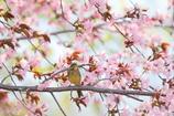 アオジ姫桜(*^-^*)