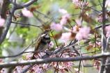 ツグミ桜(*^^*)