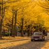 銀杏並木と名車