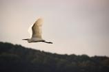 白鷺‐飛行‐