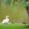 ねむの木と白鳥。。♪