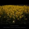 撮 Flower