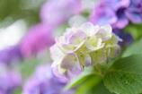 住吉自然公園の紫陽花3