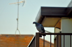 カワラバト (Rock Dove / Rock Pigeon)