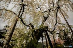 瑞龍寺の桜