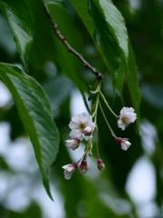 京都 祇園白川 季節はずれの桜