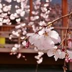 京都 祇園 さくら舞い
