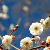 京都 早春の梅 II