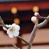 京都 早春の梅