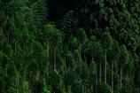 京都 北山杉の陣列