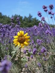 北海道 ラベンダー花畑での迷子